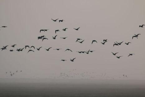 Ringelgänse (Branta bernicla) im morgendlichen Nebel (Foto: Jonas Kotlarz)