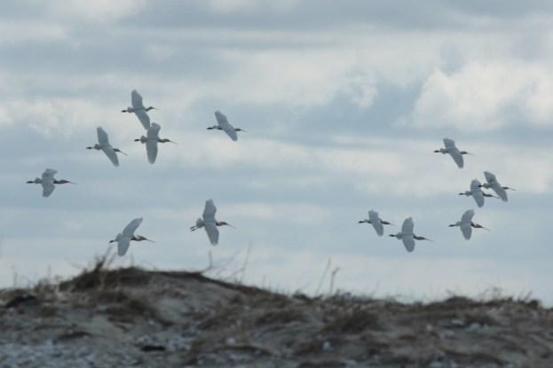 Löffler (Platalea leucorodia) landen in der Kolonie, nachdem sie vom Seeadler aufgescheucht wurden (Foto: Jonas Kotlarz)