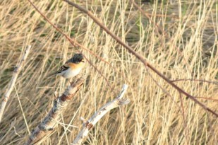 Männlicher Bergfink (Fringilla montifringilla) im Lockgebüsch (Foto: Jonas Kotlarz)