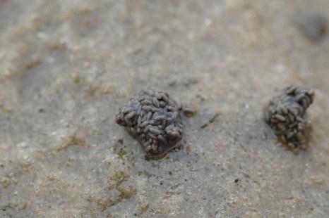 Kothäufchen des Kotpillenwurms (Heteromastus filiformis) (Foto: Jonas Kotlarz)