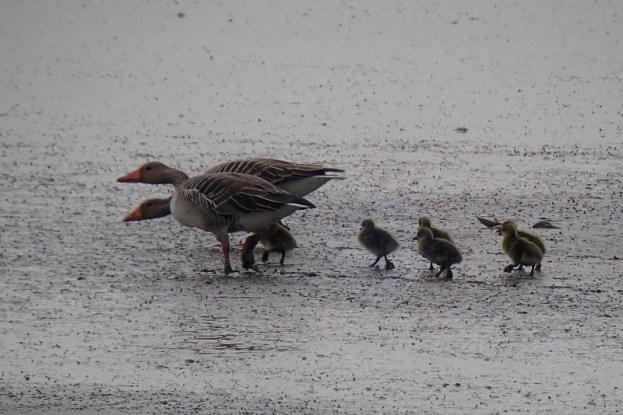 Graugans-Familie (Anser anser) durchquert die Südost-Bucht (Foto: Jonas Kotlarz)