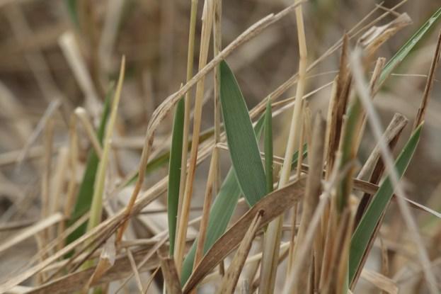 Das erste Grün des Strandroggens (Leymus arenarius; Foto: Jonas Kotlarz)