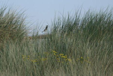 Das Sandregenpfeifer Männchen (Charadrius hiaticula) hält die Umgebung im Blick (Foto: Jonas Kotlarz)