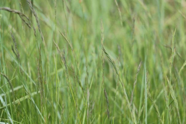 Rotschwingel (Festuca rubra; Foto: Jonas Kotlarz)