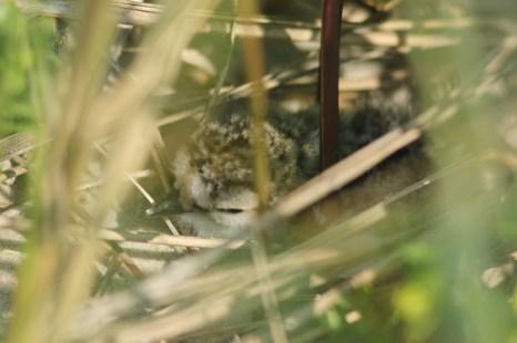 Sandregenpfeifer-Küken (Charadrius hiaticula; Foto: Jonas Kotlarz)