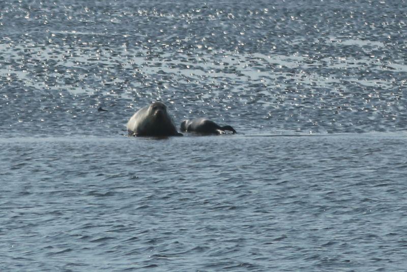 Seehund-Mutter (Phoca vitulina) mit ihrem Jungen (Foto: Jonas Kotlarz)
