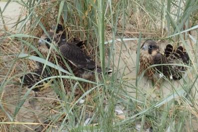 Fast flügge Wanderfalken (Falco peregrinus; Foto: Jonas Kotlarz)