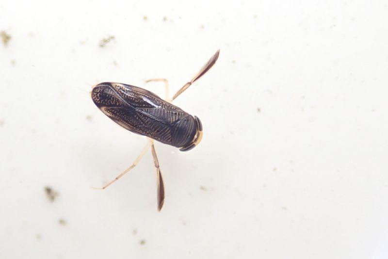 Eine Ruderwanze (Corixidae) in der Regentonne (Foto: Jonas Kotlarz)