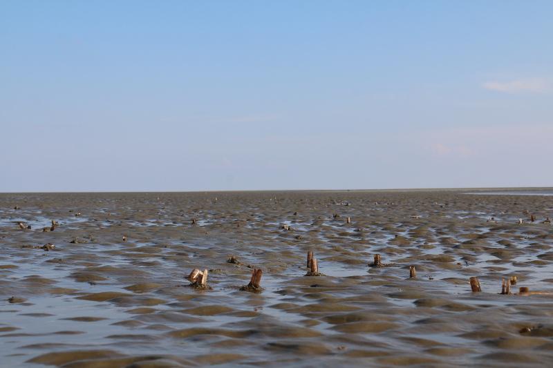 Freigespülte Schwertmuschel-Schalen im Westwatt (Ensis americanus; Foto: Jonas Kotlarz)