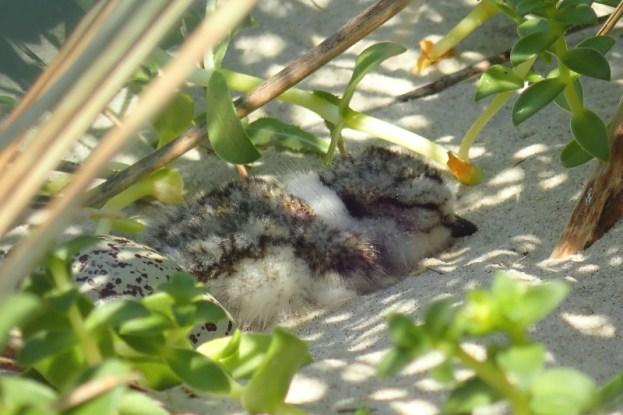 Sandregenpfeifer-Küken (Charadrius hiaticula) frisch geschlüpft (Foto: Jonas Kotlarz)