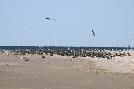 Mausernde Eiderenten (Somateria mollissima) am Strand (Foto: Jonas Kotlarz)