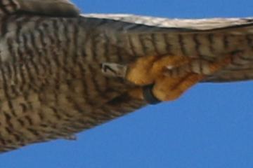 Das Wanderfalken-Weibchen auf Trischen, anhand der Ringe individuell erkennbar (Foto: Jonas Kotlarz)