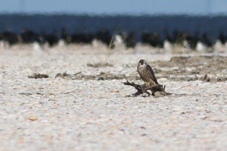 Junger Wanderfalke (Falco peregrinus) am Strand (Foto: Jonas Kotlarz)