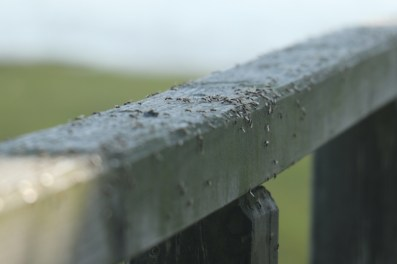 Schwärmende Ameisen auf Trischen (Foto: Jonas Kotlarz)