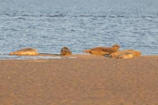 Seehunde (Phoca vitulina; Foto: Jonas Kotlarz)