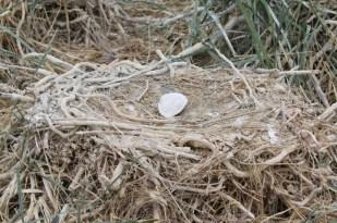 Markierung des Nests mit einer Sandklaffmuschel (Foto: Jonas Kotlarz)