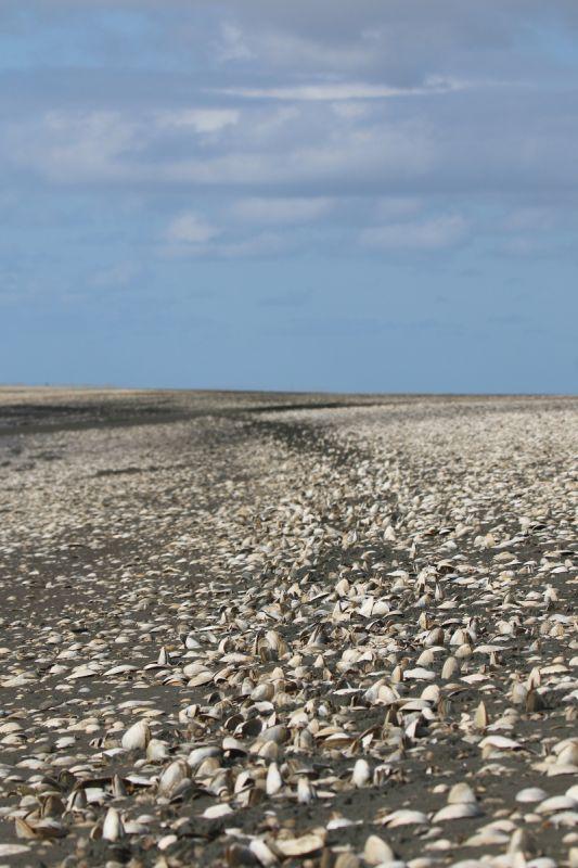 Freigespülte Sandklaffmuscheln (Mya arenaria) an der Prielkante (Foto: Jonas Kotlarz)