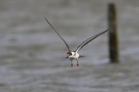 Diesjährige Trauerseeschwalbe (Chlidonias niger) bei Landunter am 22.09.2018 (Foto: Jonas Kotlarz)