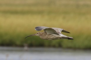 Großer Brachvogel (Numenius arquata; Foto: Jonas Kotlarz)