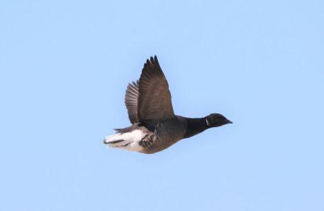 fliegende Ringelgans (Foto: A. de Walmont)