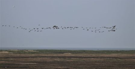 aus West überfliegende Weißwangengänse (Foto: A. de Walmont)