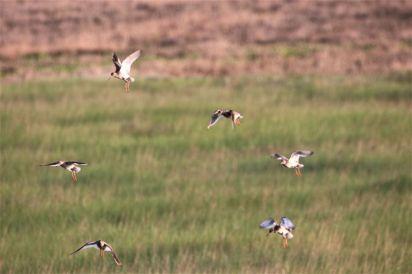 schimpfende Altvögel (Foto: A. de Walmont)