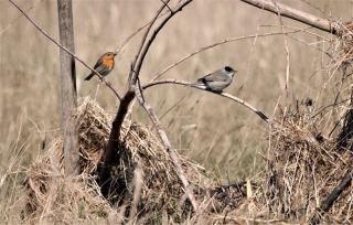 Rotkehlchen und Mönchsgrasmücke (Foto: A. de Walmont)
