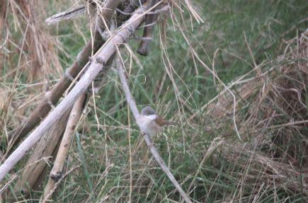 Auf jeden Fall Vogel des Tages: Dorngrasmücke (Foto: A. de Walmont)