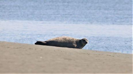 aufmerksamer Seehund (Foto: A. de Walmont)