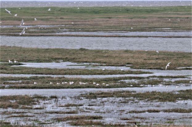 teilweise überflutetes Brutgebiet von Lachmöwen und Seeschwalben (Foto: A. de Walmont)