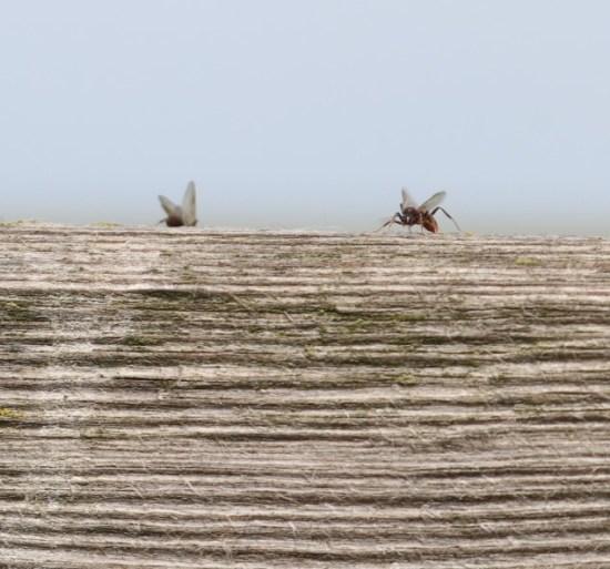 Ameisenflug - hier sitzend
