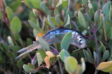 nicht Brutverlust sondern Fischchenverlust (Foto: A. de Walmont)