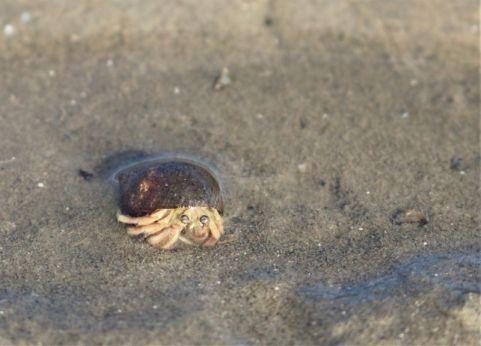 Einsiedlerkrebs im Haus einer Strandschnecke (Foto: A. de Walmont)
