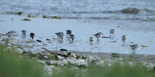 Limikolen bei Hochwasser vor West (Foto: A. de Walmont)