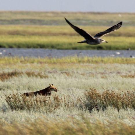 Fuchs mit Jungmöwe