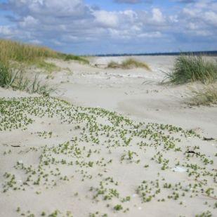 Salzmierenrasen