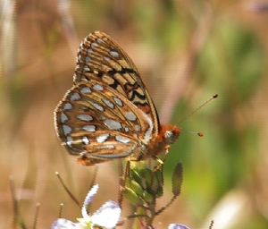 Endangered butterly species