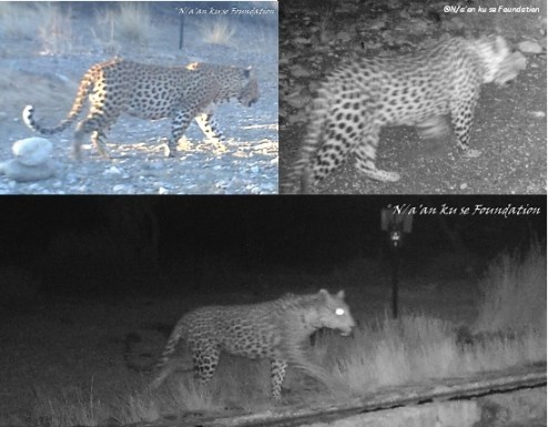 Camera-trap photos of leopards on the Neuras Wine & Wildlife Estate, Namibia.