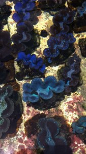 Colorful Giant Clams at TMSI's marine lab
