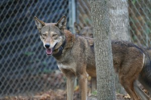 This guy is wearing a VHF collar so the wildlife biologists can check in on him. Photo courtesy of USFWS (https://www.flickr.com/photos/trackthepack/)