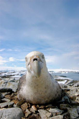A southern giant petrel on Humble Island
