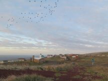 Chuuchii (least auklets) over the village.