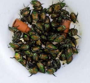 Male Japanese beetles captured in a pheromone trap. Image adapted from Oregon Department of Agriculture