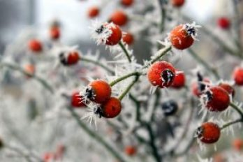Red rose hips with frost crystals