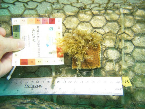 One of our current studies investigates how direct contact with algae influences  the coral mucus microbiome