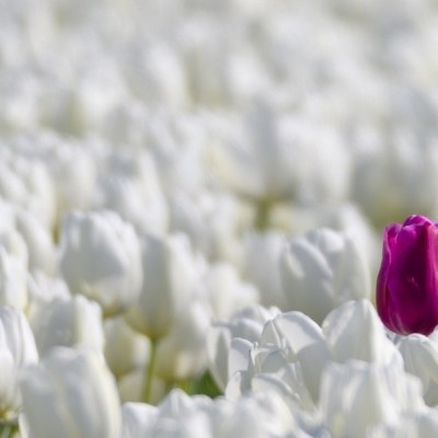 One Colored Tulip Standing Out From The Crowd Of White Tulips