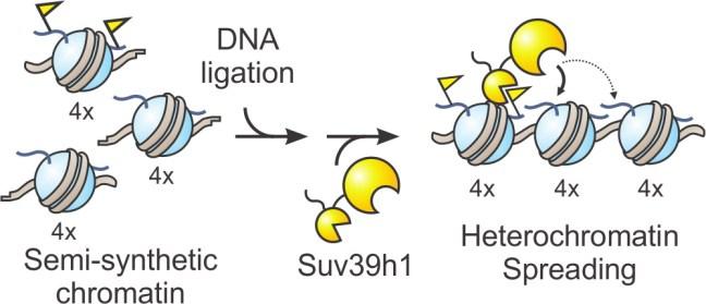 Designer chromatin experiments