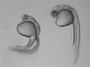 Two zebrafish embryos