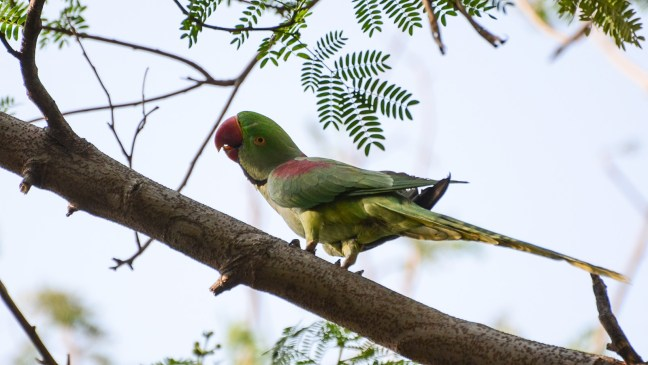 Green and red parakeet