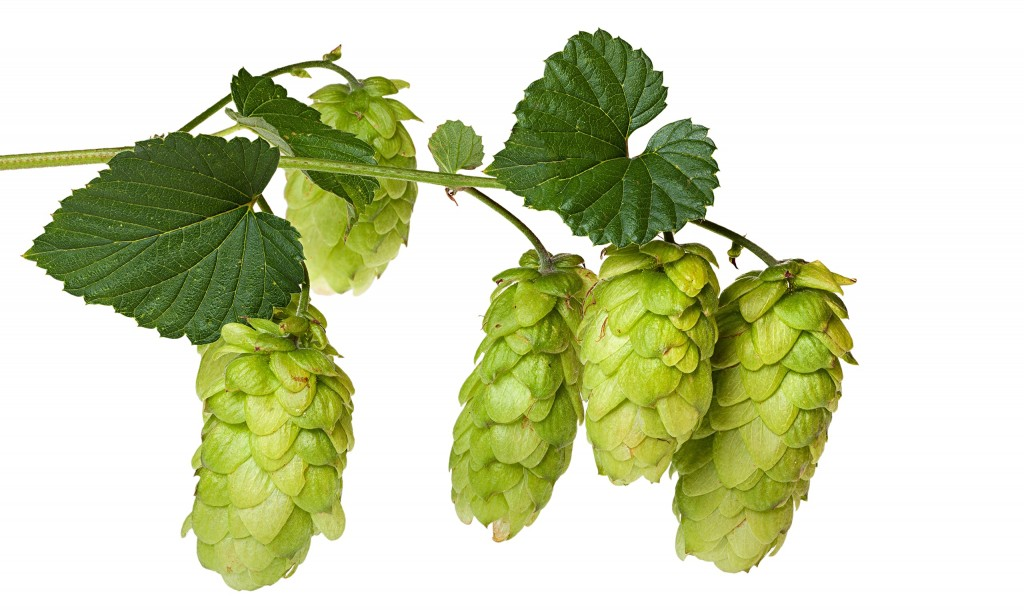 Hops are the flowers of the hop plant Humulus lupulus, and are used for flavoring beer.